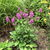Perennials: Stachys officinalis  'Hummelo'