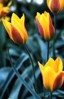 Tulips_tulipa_kolpakowskiana-1.full