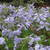 Phlox_phlox_divaricata_clouds_of_perfume.small