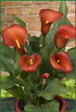 2010 New Introduction:  Calla Lily 'Captain Murano'