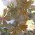 Perennials: Parthenocissus henryana