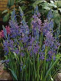 Bulbs_camassia_quamash-1.full