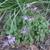 Perennials: Epimedium grandiflorum 'Lilafee'
