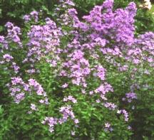 Bellflower_campanula_lactiflora-1.full