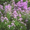 milky bellflower