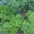 Perennials: Pachysandra procumbens