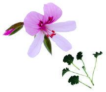 Scented_geraniums_pelargonium_x_nervosum-1.full
