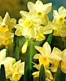 Daffodils_and_narcissus_narcissus_tazetta_silver_chimes-1.full