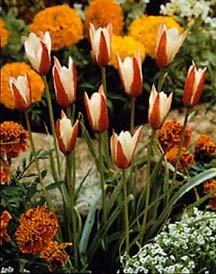 Tulips_tulipa_clusiana-1.full
