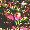 Perennials_helleborus_purpurescens-1.thumb