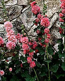 Hollyhock, Double 'Chater's Mix'