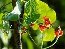 Bean, Ornamental Scarlet Runner