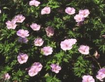 Geranium, 'Striatum'