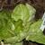 Butter_lettuce.small
