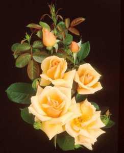Rose, Shrub 'Golden Unicorn'