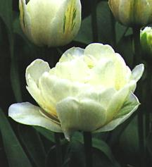 Tulips_tulipa_mount_tacoma-1.full