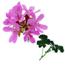Scented Geranium, Prostrate Rose