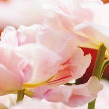 Tulips_tulipa_angelique-2.full