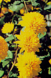 Sunflower, 'Loddon Gold'