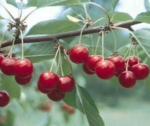 Cherry Tree, North Star Pie dwarf
