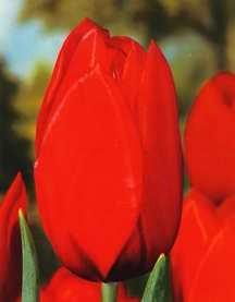 Tulips_tulipa_kingsblood-1.full