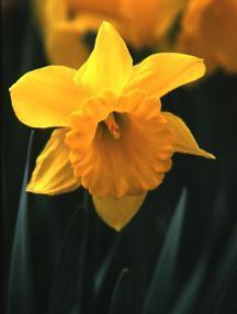Daffodil, Trumpet King Alfred