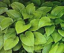 Hosta, 'Grandiflora'