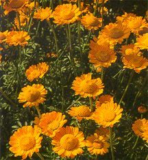 All_plants_anthemis_sancti-johannis-1.full