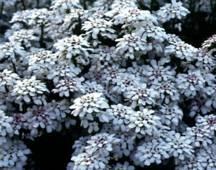 Candytuft, 'Autumn Snow'