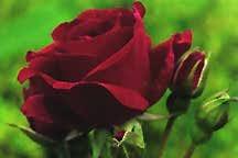 Rose, Floribunda 'Valentine' (1951)
