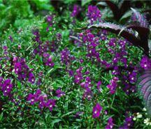 Angelonia, Purple