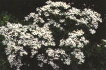 Aster, White Wood