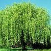 Willows_salix_x_blanda-1.thumb