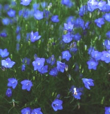 Bellflower_campanula_rotundifolia_olympica-1.full