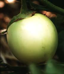 Eggplant, Italian White (Italian Heirloom, Early 1900's)