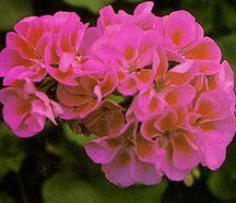Geranium, Zonal 'Valentine'