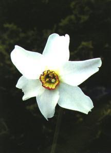 Daffodils_and_narcissus_narcissus_poeticus_recurvus-2.full