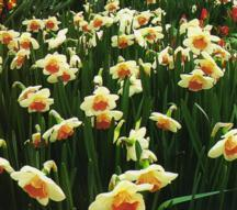 Daffodils_and_narcissus_narcissus_romance-1.full