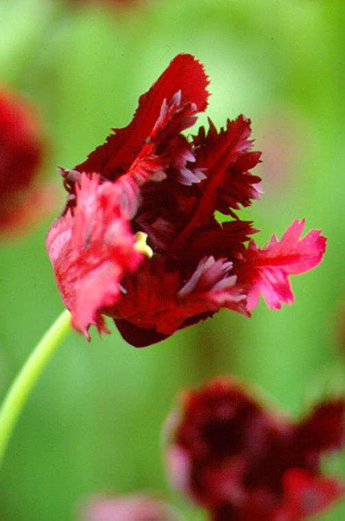 Tulips_tulipa_black_parrot-1.full