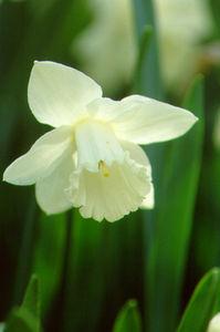 Daffodil, Trumpet 'Mount Hood'