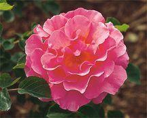 Rose, English Standard Tree-form 'Lilian Austin' (Austin 1973)