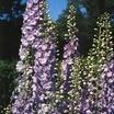 Delphinium, Pacific Giant Hybrid 'Guinevere'