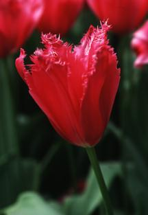Tulips_tulipa_burgundy_lace-1.full