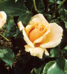 Rose, Hybrid Tea 'Just Joey'