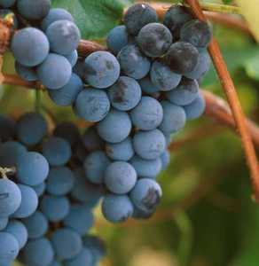 Grape, Worden Hardy