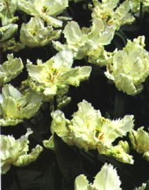 Tulips_tulipa_white_parrot-1.full
