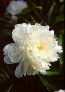 Peonies_paeonia_frances_willard-1.medium.detail