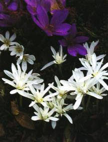 Autumn Crocus, Double White