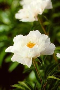 Peonies_paeonia_krinkled_white-1.medium.detail