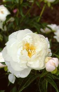 Peonies_paeonia_miss_america-1.medium.detail
